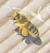 Biene mit 'Hosen' (Pollen) an Ihren Hinterbeinen