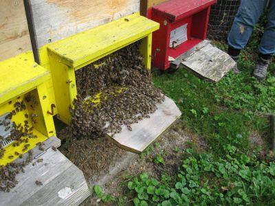 Auch vorne sitzen viele Bienen draussen