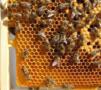 Bienenkönigin vom gelben Volk am 17.Juni 2014