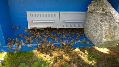 Nach dem einlegen der Ameisensäure-Dosierer wollen die Bienen ins Freie