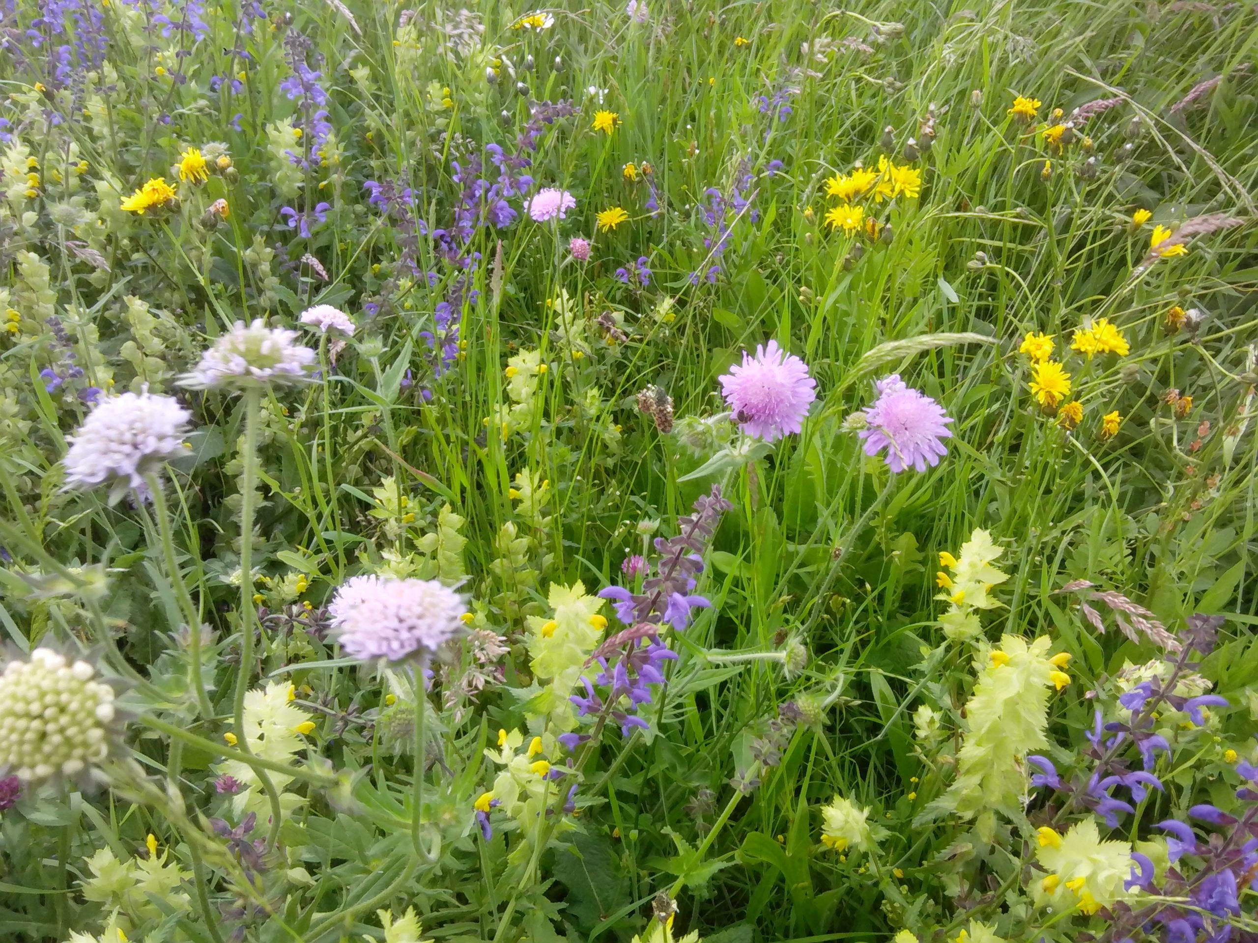 Solch herrliche Blumenwiesen sind nicht nur für das menschliche Auge eine Pracht, sondern auch für Bienen wichtig.