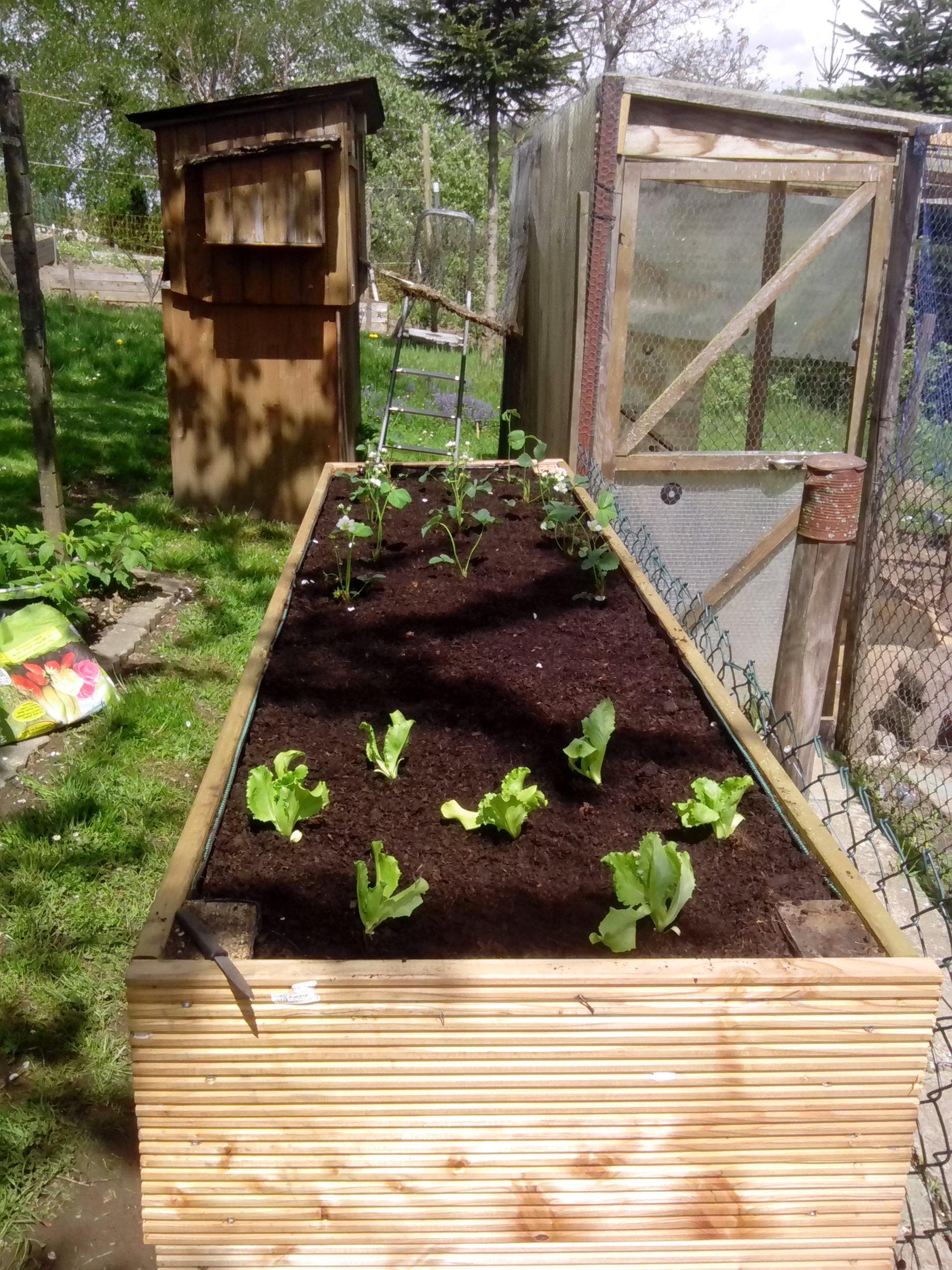 Erdbeeren, Salat, Karotten und Zwiebel wurden im Hochbeet gesetzt/gesät