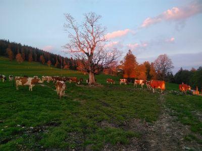 Die Kühe um 6 Uhr am 24.05.2019 beim auf die Weide treiben im Morgenrot
