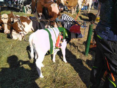 Kostümierte Kälber an der Viehshow in Tavannes am 11.10.2019