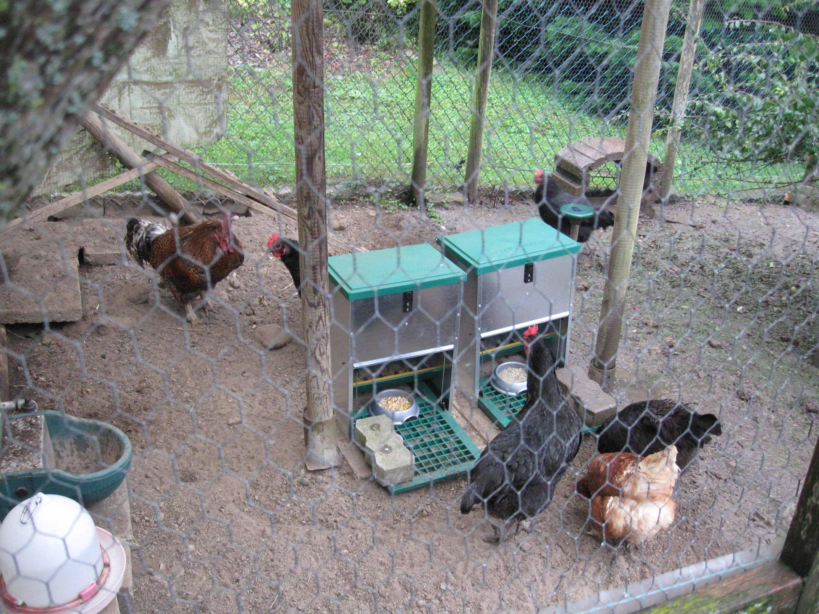 Misstrauisch schauen die Hühner sich die Sache an...